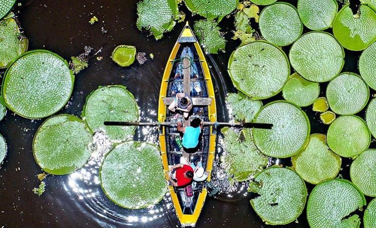 Paraguay's giant lily pads are back for the first time in a