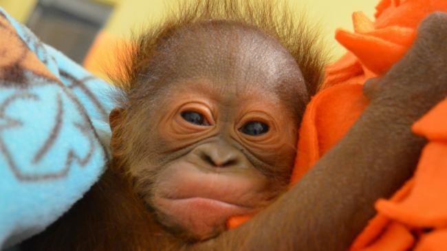 Keju, female baby orangutan born at the Henry Vilas Zoo in M