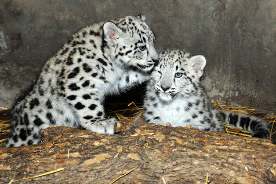 Newborn snow leopards ready for their cl