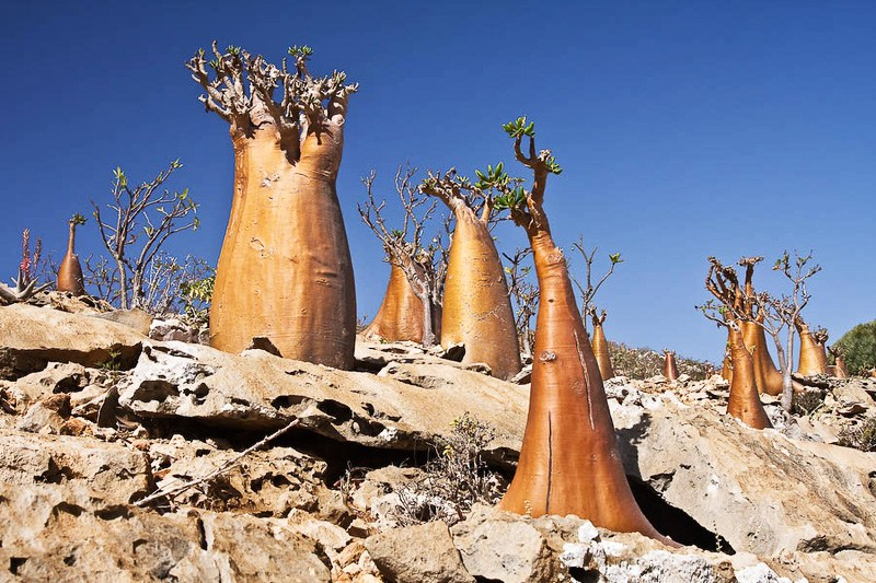 Bottle Trees, Socotra Isl