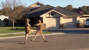 Fighting Kangaroos Take it To the Streets