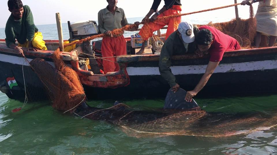 World largest fish travels from Gujarat, reaches Maldives in