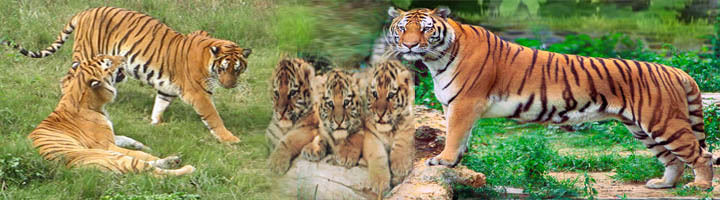 Package for Taj and Tiger Encounter Tour