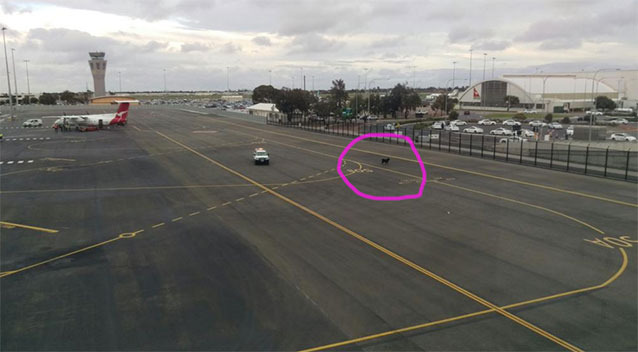 A-goat-travelling-to-Singapore-escaped-onto-Adelaide-airport-tarmac