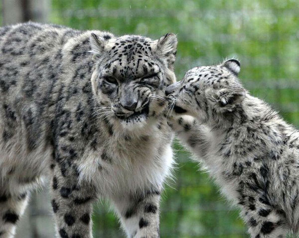 Newborn snow leopards ready fo