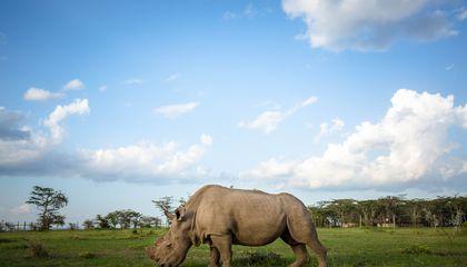 After Sudan the rhino the air safari seeking to save Kenya's
