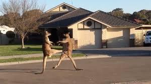 Fighting Kangaroos Take it To the Streets