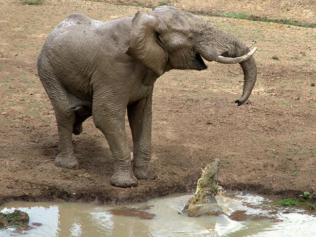 Crocodile bites elephant trunk South Luangwa National Park i