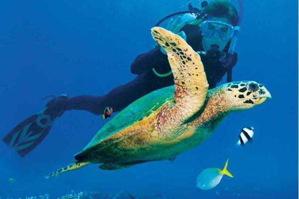 Green Sea Turtle swimming underwater Mayotte
